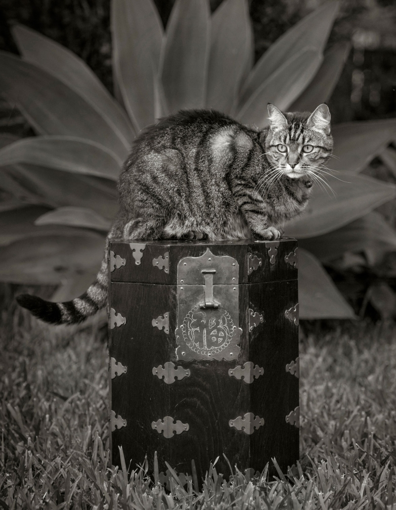 pet photography brisbane portrait cat