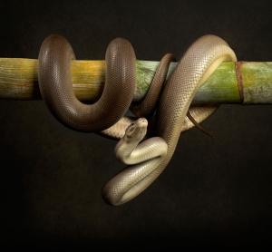 pet photography brisbane portrait snake