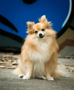 fluffy pomeranian dog portrait with graffiti wall background