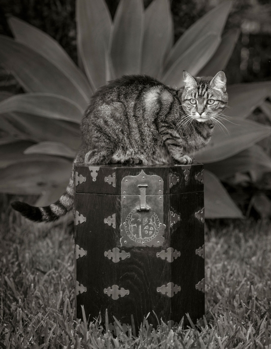 cat on top of decorative box in garden pose for black and white image