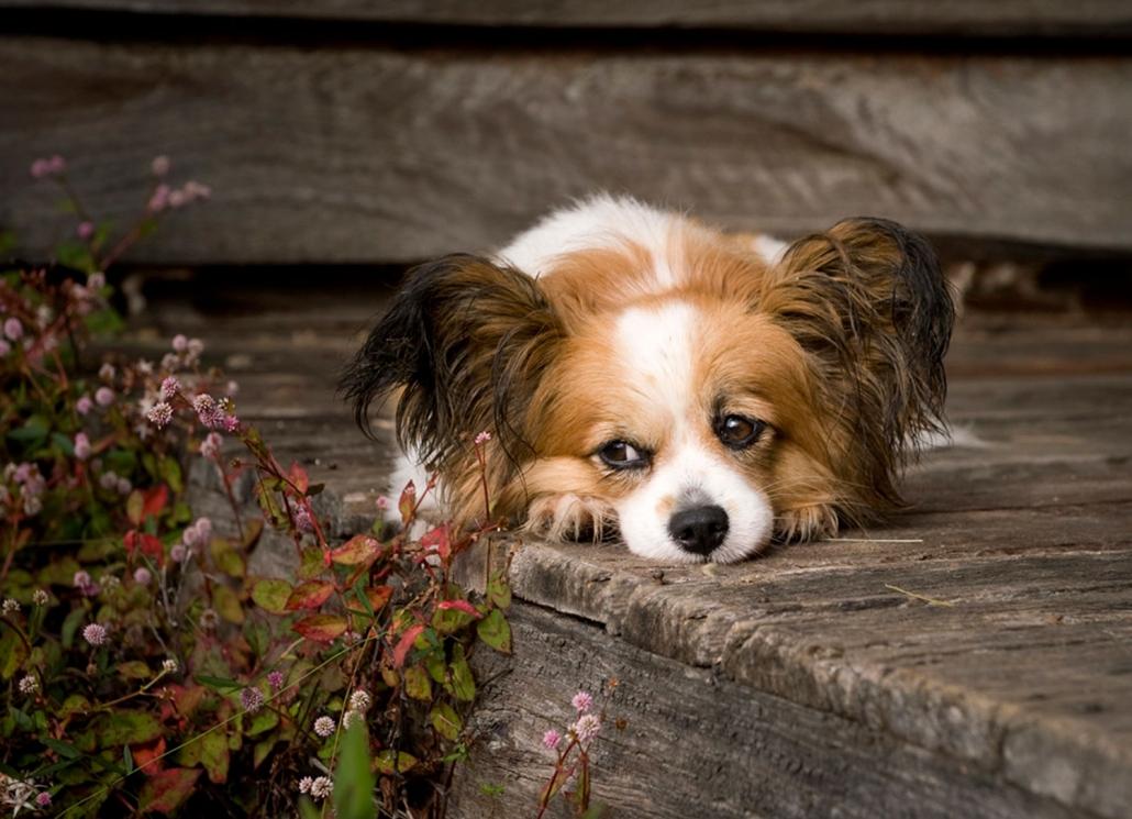 cute small dog with fluffy ears on wooden deck brisbane australia