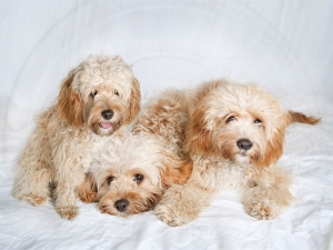 three fluffy cream coloured poodle mix dogs with caramel coloured ears and curly coats laying in a pile with white studio background