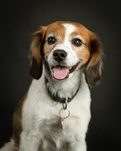 white brown and black beagle mix dog with tongue out in front of black background