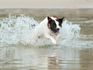 black and white dog enjoys splashing in waves in lagoon at beach qld