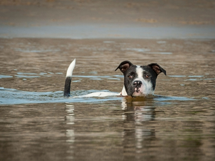 alert black & white staffy bull dog swimming in lake with tail up on holiday