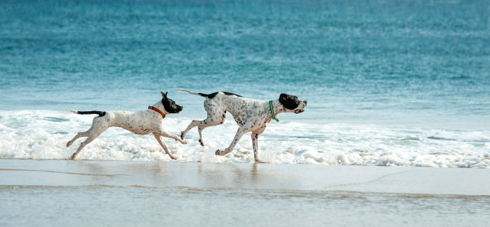 happy great dane dogs white with black spots running along blue water beach gold coast australia