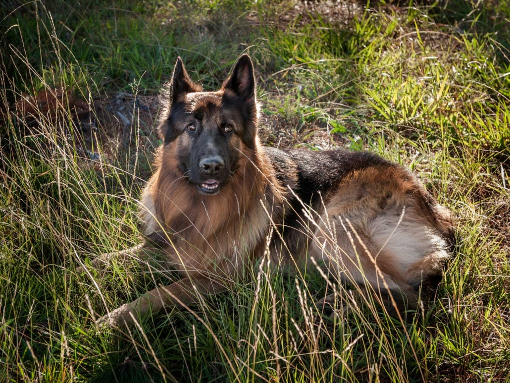 wise majestic german shepherd dog laying in long grass in sunlight location photograph