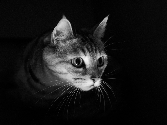 stripey tabby cat white mouth close up portrait in studio with black background brisbane