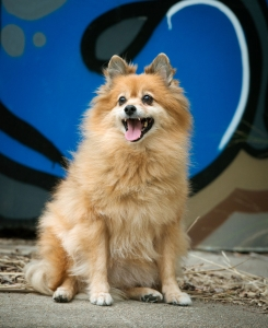 happy pomeranian dog sitting in outdoor photography studio in front graffiti wall background