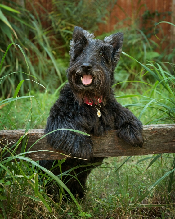 black schnauzer dog with front paws on fence in grassy studio brisbane