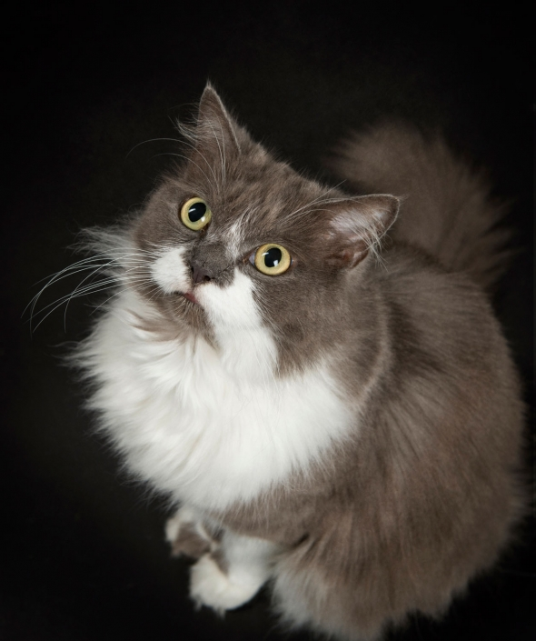 grey and white persian cat with green yellow eyes and long whiskers poses in studio with black background