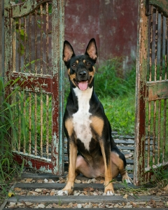 australian working dog kelpie mix sitting proud and happy in front of red antique gates in Frances Suter Photography Studio