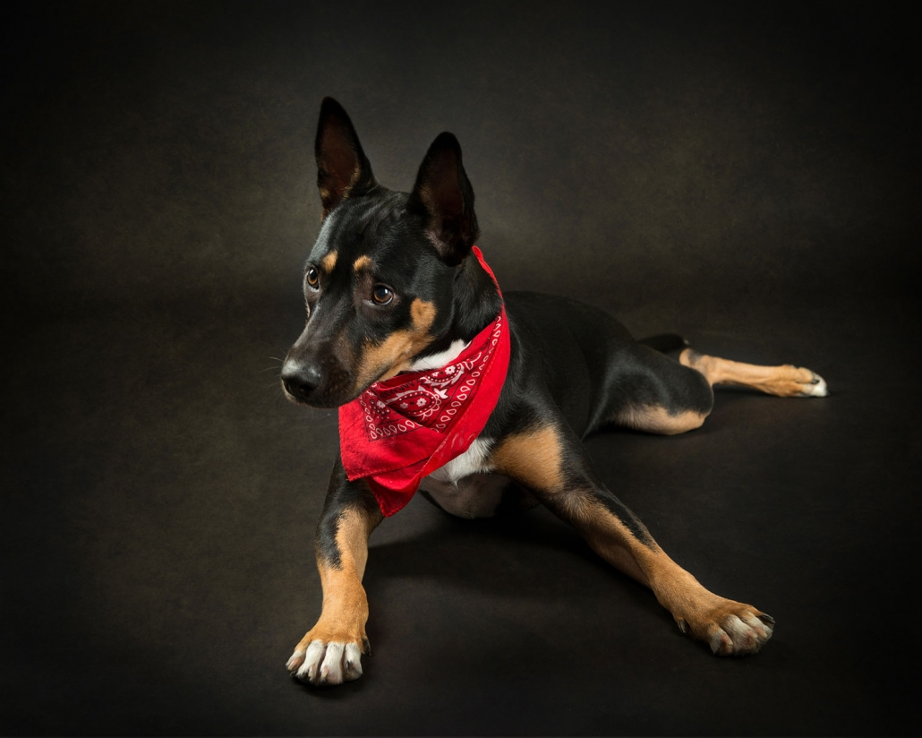 kelpie lays in studio wearing bright red bandana around neck for photograph with Frances Suter award winning photographer