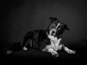 black and grey border collie mix dog with held tilt in photograph