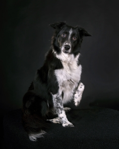 pet photography brisbane portrait dog
