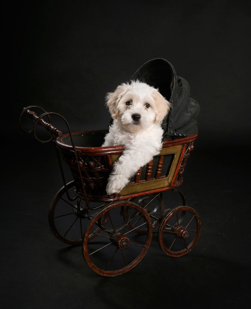Frances Suter image of cute white fluffy maltese poodle sitting in old fashioned stroller pram with on paw hanging over edge
