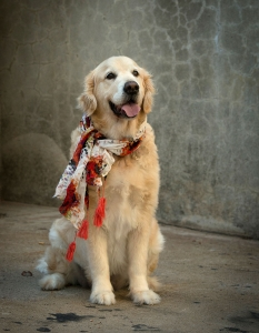 well trained golden retriever wearing red patterned scarf looks happy with tongue out