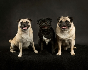 two fawn pug dogs and one black pug dog with white chest in middle sitting together in photography studio with black background