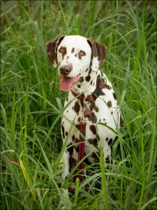 brown dalmation with tongue out sitting in fresh green grass outdoor photoshoot brisbane