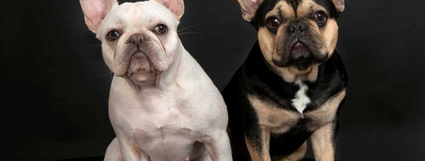 white french bulldog sits with black and tan french bull dog in front of black photography studio background at pet photoshoot